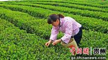 贵州清镇市举行春季采茶技能竞赛